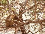 Древесный заяц породы слоновых